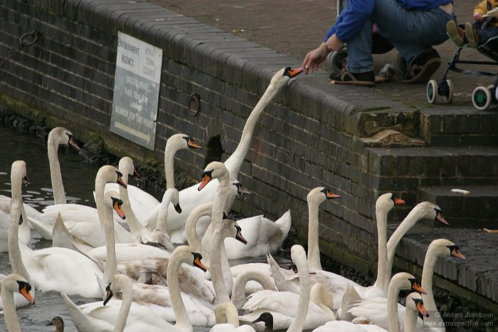 Feeding more hungry swans at Henley